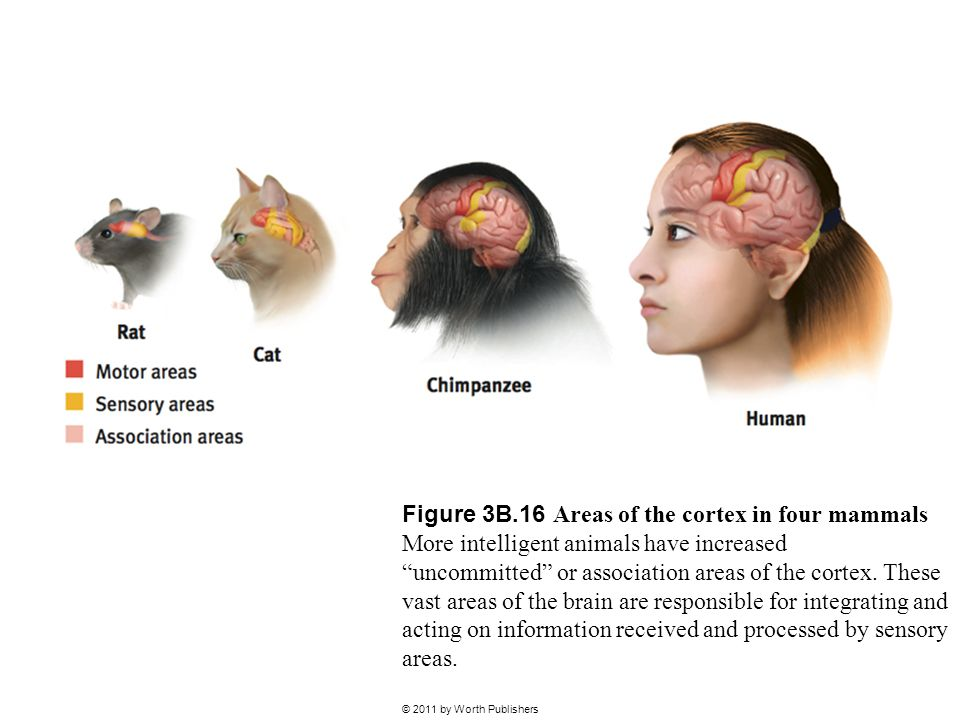 Figure 3B.16 Areas of the cortex in four mammals More intelligent animals have increased