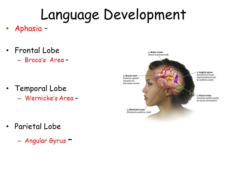 Language Development Aphasia – Frontal Lobe Temporal Lobe
