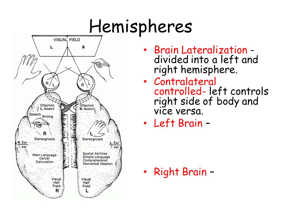 Hemispheres Brain Lateralization - divided into a left and right hemisphere.