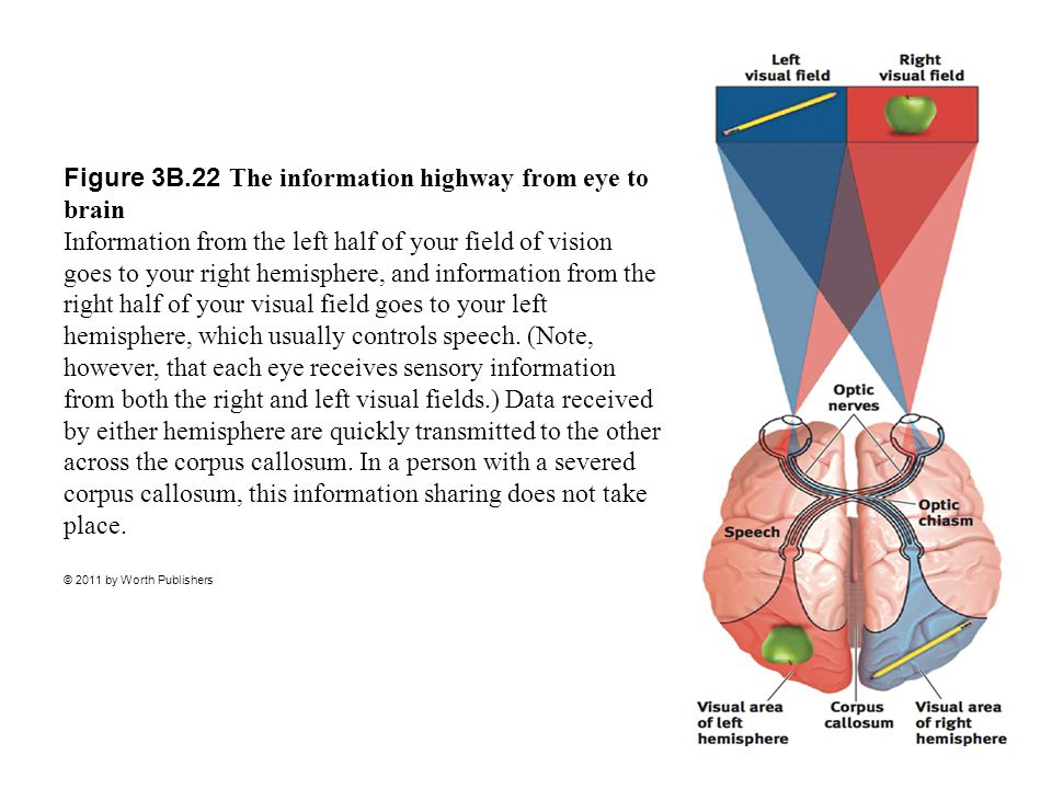 Figure 3B.22 The information highway from eye to brain Information from the left half of your field of vision goes to your right hemisphere, and information from the right half of your visual field goes to your left hemisphere, which usually controls speech. (Note, however, that each eye receives sensory information from both the right and left visual fields.) Data received by either hemisphere are quickly transmitted to the other across the corpus callosum. In a person with a severed corpus callosum, this information sharing does not take place.