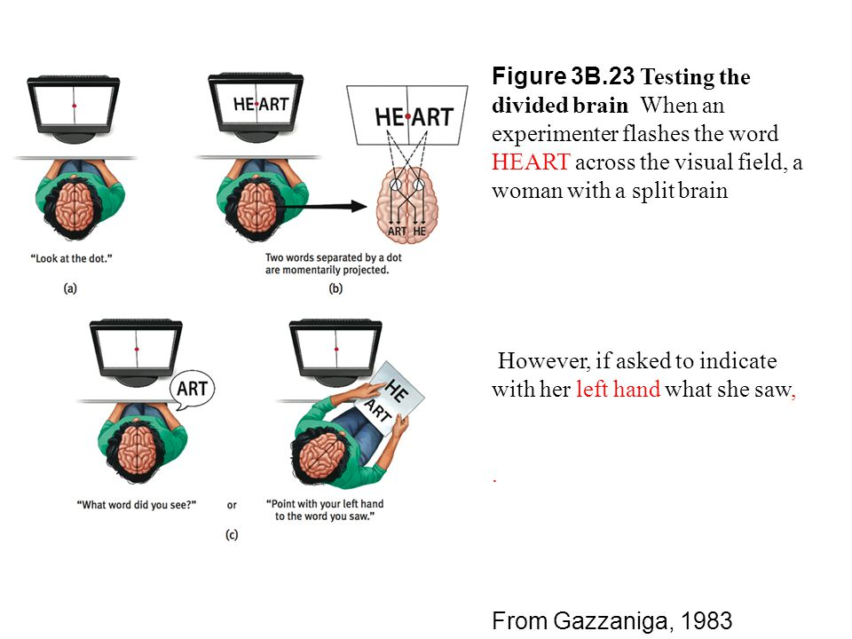 Figure 3B.23 Testing the divided brain When an experimenter flashes the word HEART across the visual field, a woman with a split brain