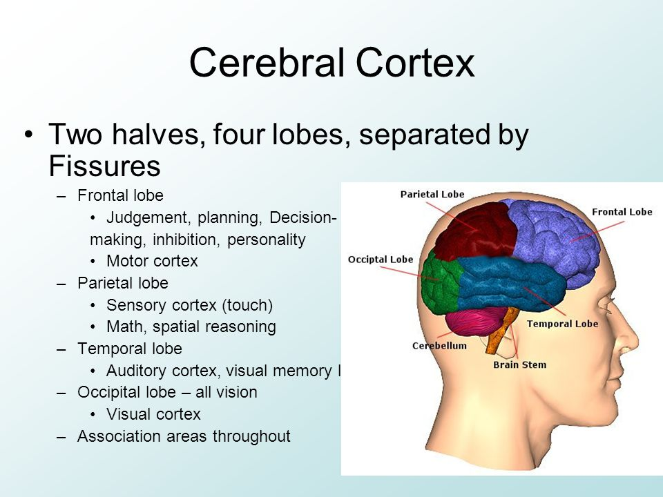Cerebral Cortex Two halves, four lobes, separated by Fissures