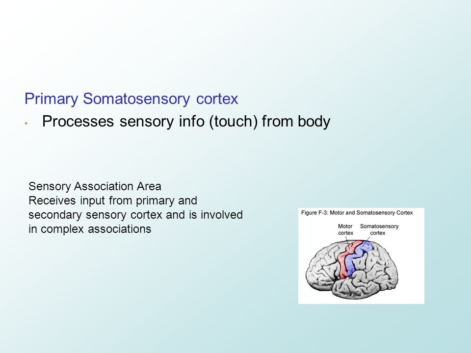 Primary Somatosensory cortex Processes sensory info (touch) from body