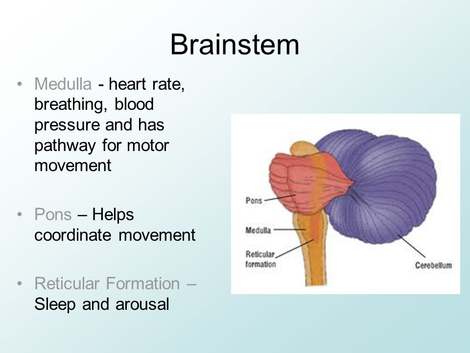 Brainstem Medulla - heart rate, breathing, blood pressure and has pathway for motor movement. Pons – Helps coordinate movement.