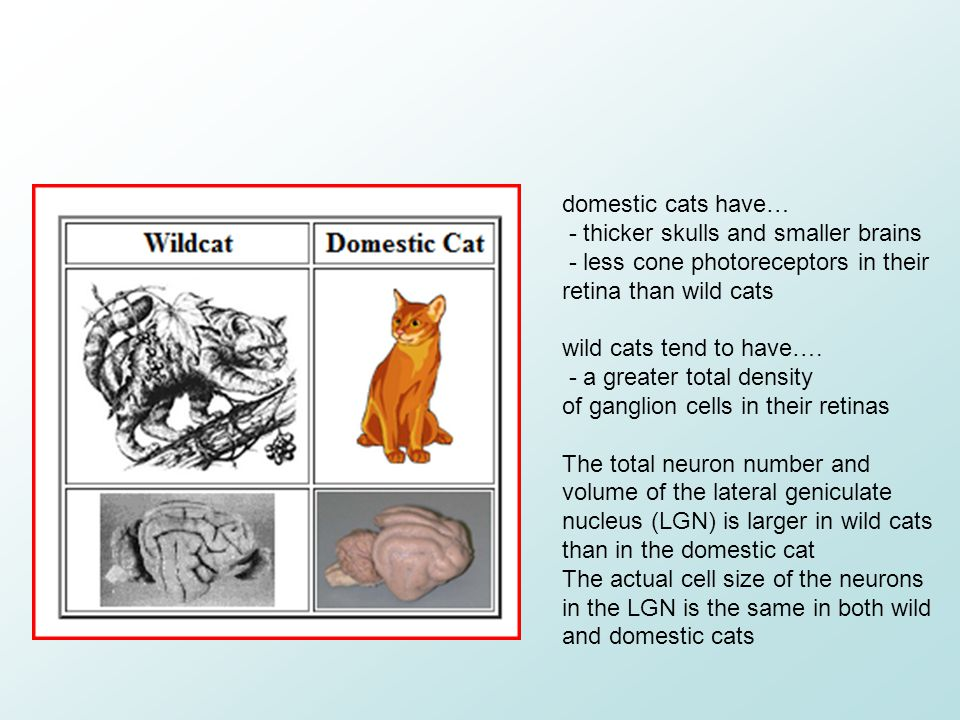domestic cats have… - thicker skulls and smaller brains. - less cone photoreceptors in their retina than wild cats.