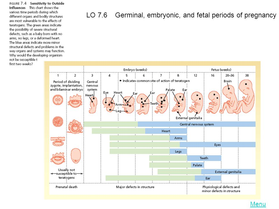 LO 7.6 Germinal, embryonic, and fetal periods of pregnancy