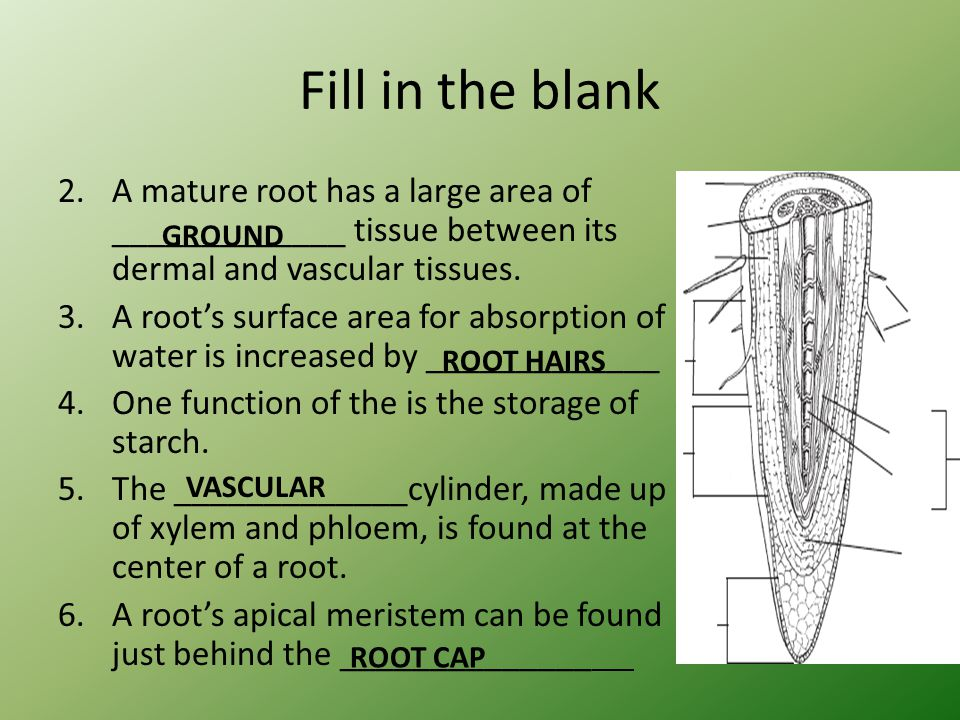 Fill in the blank A mature root has a large area of _____________ tissue between its dermal and vascular tissues.
