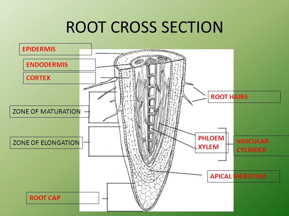 ROOT CROSS SECTION EPIDERMIS ENDODERMIS CORTEX ROOT HAIRS