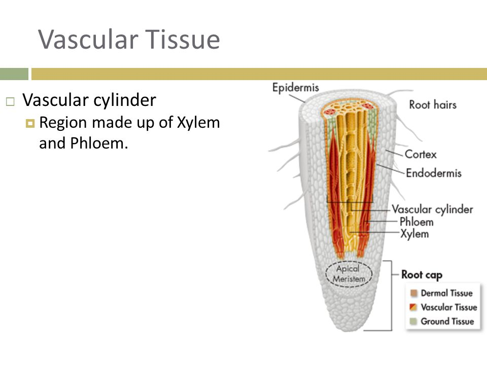 Vascular Tissue Vascular cylinder Region made up of Xylem and Phloem.