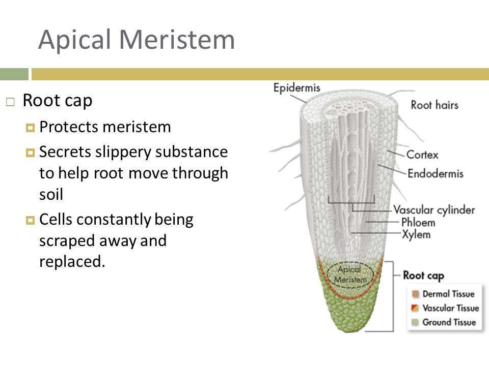 Apical Meristem Root cap Protects meristem