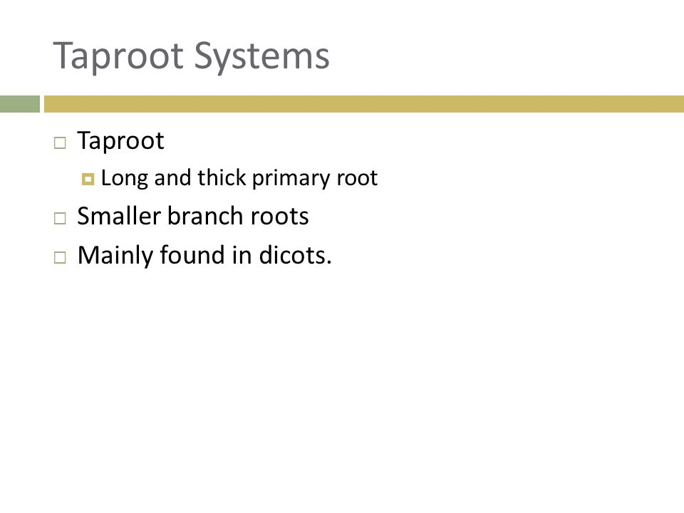 Taproot Systems Taproot Smaller branch roots Mainly found in dicots.