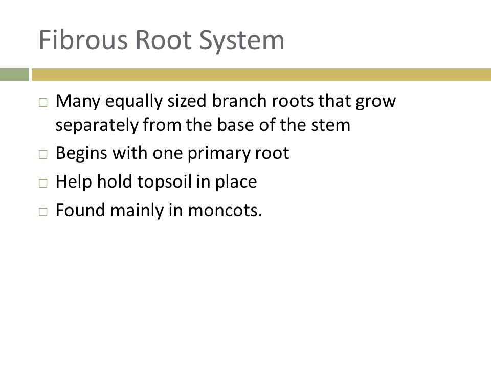 Fibrous Root System Many equally sized branch roots that grow separately from the base of the stem.