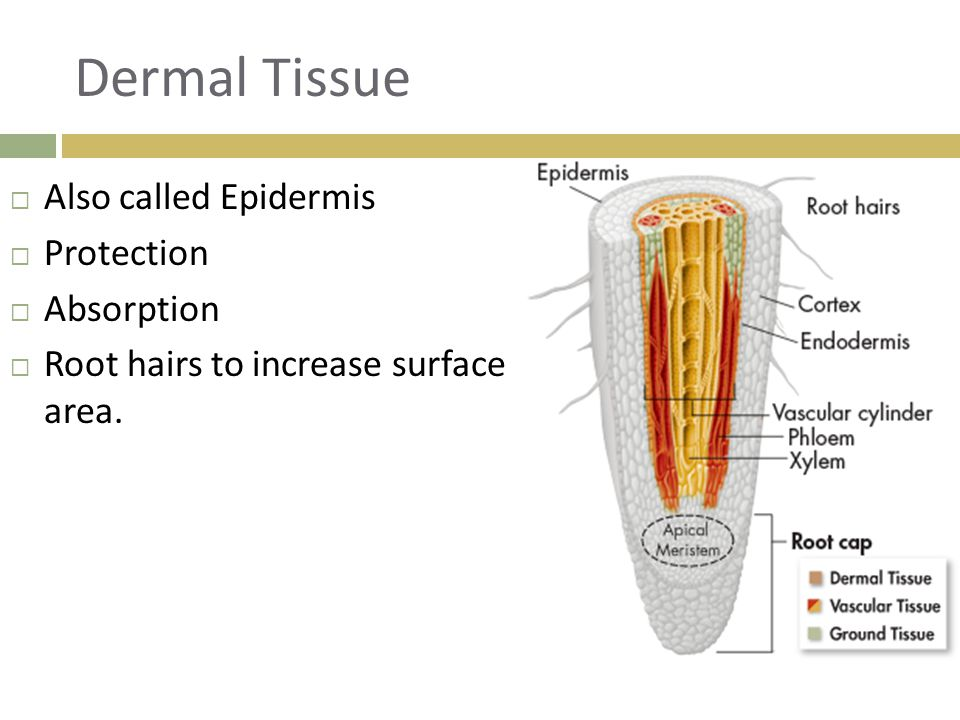 Dermal Tissue Also called Epidermis Protection Absorption