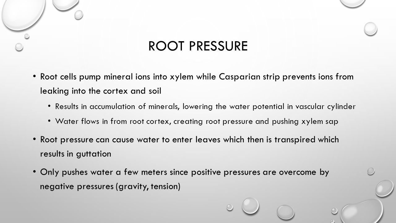 root pressure Root cells pump mineral ions into xylem while Casparian strip prevents ions from leaking into the cortex and soil.