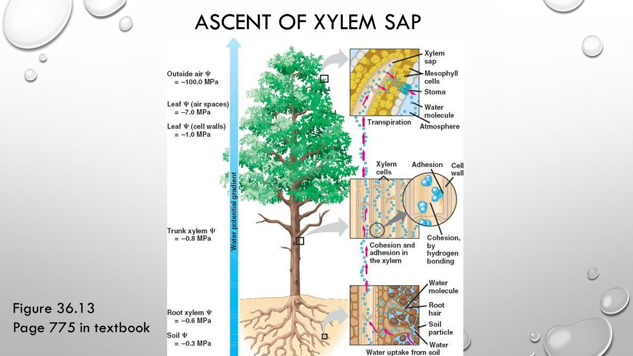 Ascent of Xylem Sap Figure 36.13 Page 775 in textbook