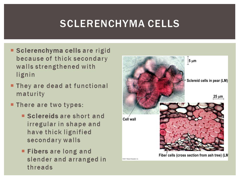 Sclerenchyma Cells Sclerenchyma cells are rigid because of thick secondary walls strengthened with lignin.
