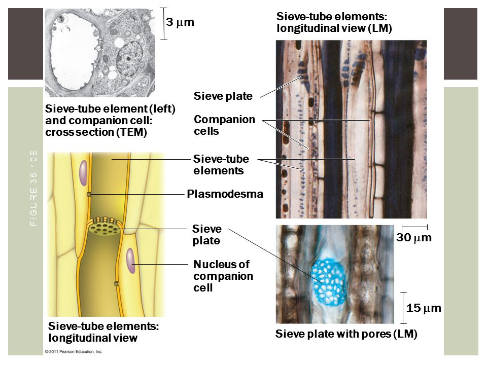 Sieve-tube elements: longitudinal view (LM) 3 m