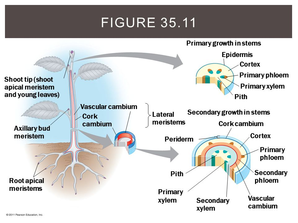 Figure 35.11 Primary growth in stems Epidermis Cortex Primary phloem