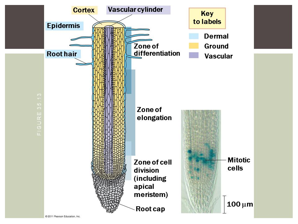 Zone of differentiation Ground Root hair Vascular