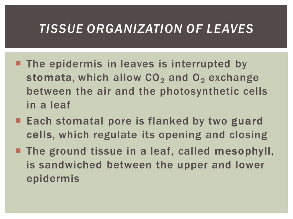 Tissue Organization of Leaves