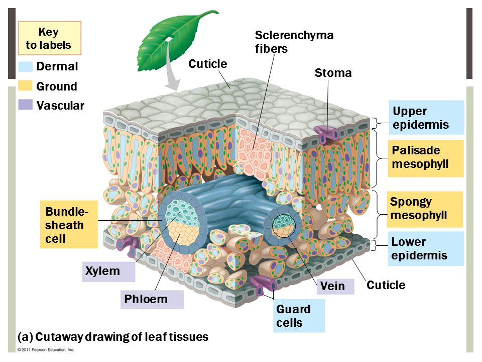 (a) Cutaway drawing of leaf tissues
