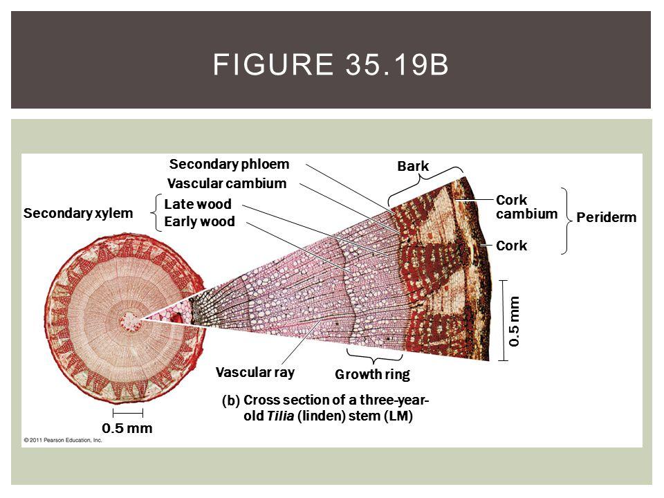 Figure 35.19b Secondary phloem Bark Vascular cambium Cork cambium