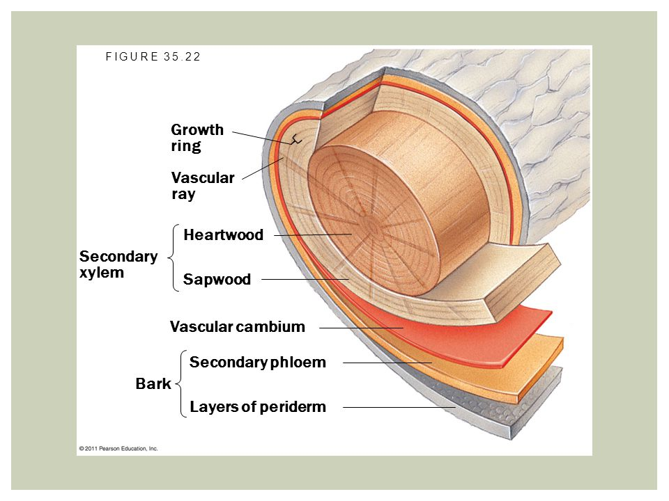 Growth ring Vascular ray Heartwood Secondary xylem Sapwood