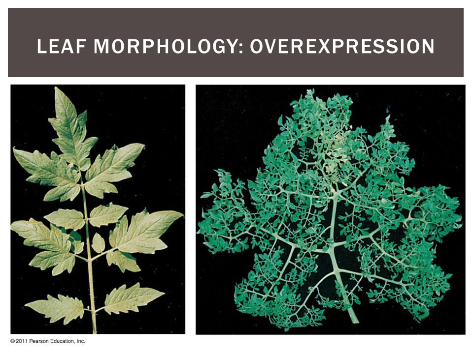 Leaf Morphology: Overexpression