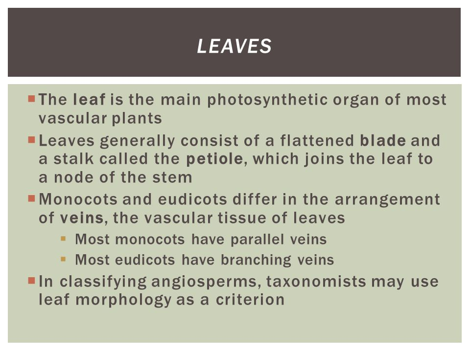 Leaves The leaf is the main photosynthetic organ of most vascular plants.