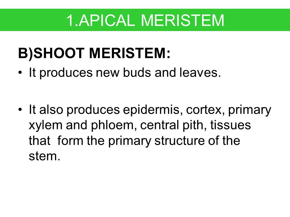 1.APICAL MERISTEM B)SHOOT MERISTEM: It produces new buds and leaves.