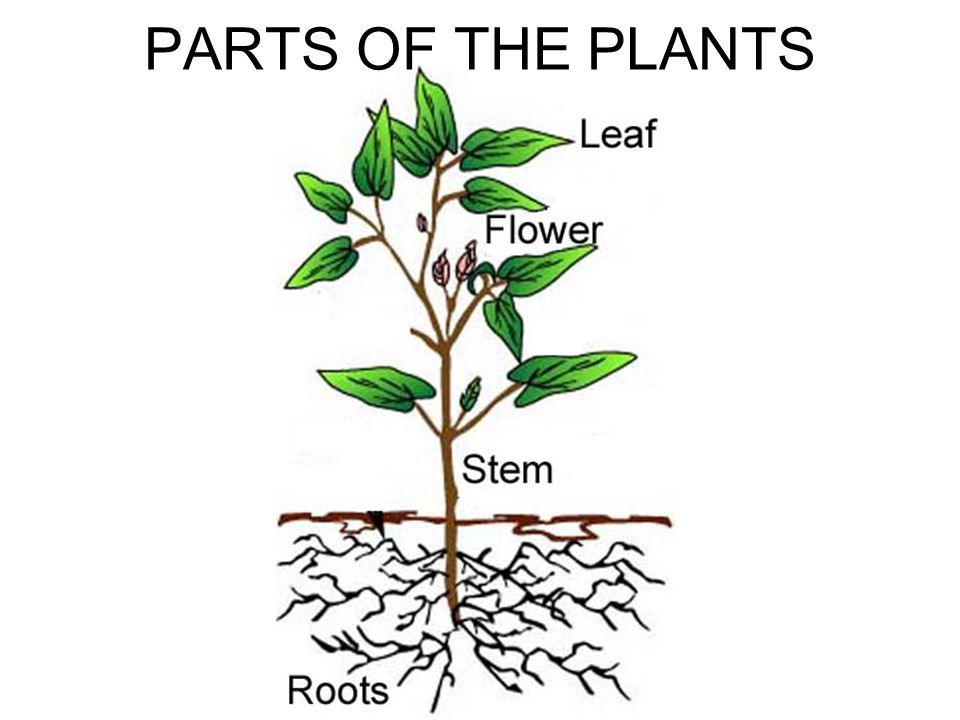 PARTS OF THE PLANTS