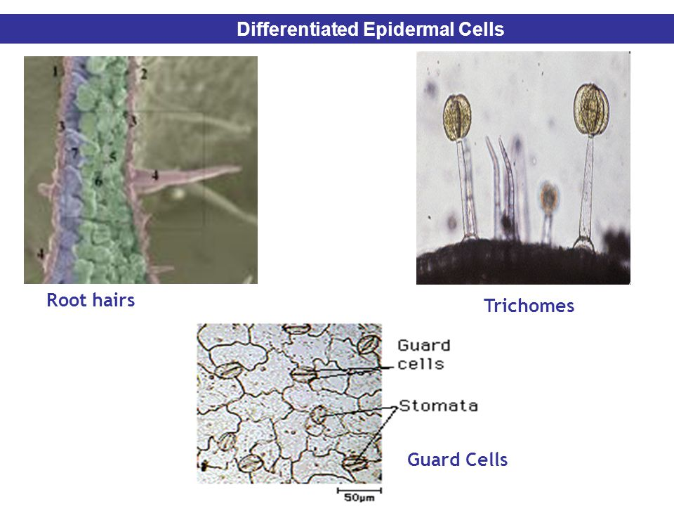 Differentiated Epidermal Cells