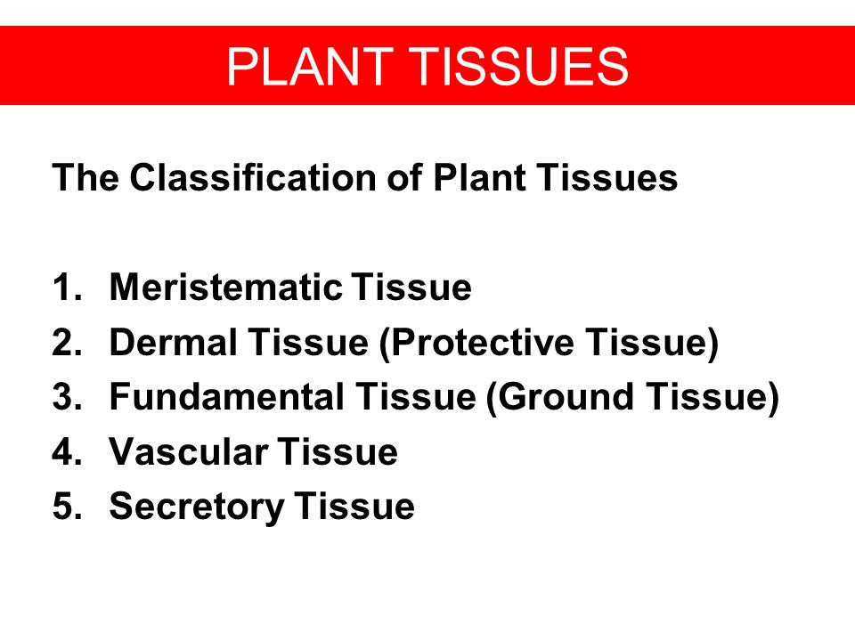 PLANT TISSUES The Classification of Plant Tissues Meristematic Tissue