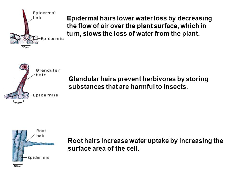 Epidermal hairs lower water loss by decreasing the flow of air over the plant surface, which in turn, slows the loss of water from the plant.
