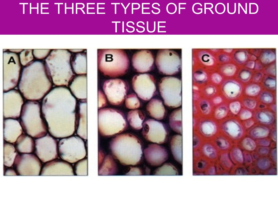 THE THREE TYPES OF GROUND TISSUE