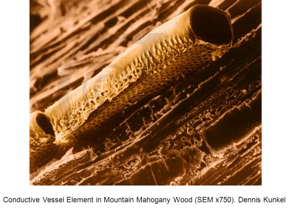 Conductive Vessel Element in Mountain Mahogany Wood (SEM x750)