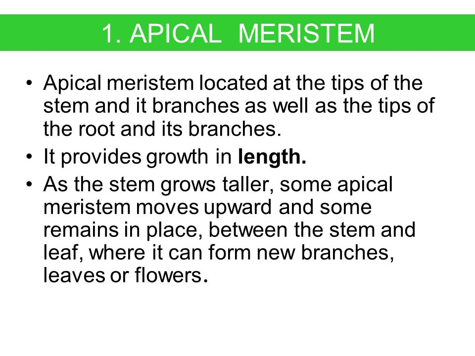 1. APICAL MERISTEM Apical meristem located at the tips of the stem and it branches as well as the tips of the root and its branches.