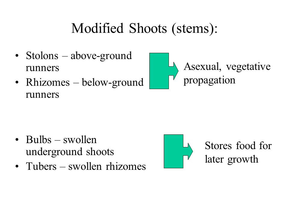 Modified Shoots (stems):