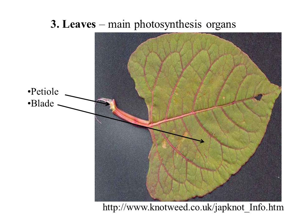 3. Leaves – main photosynthesis organs