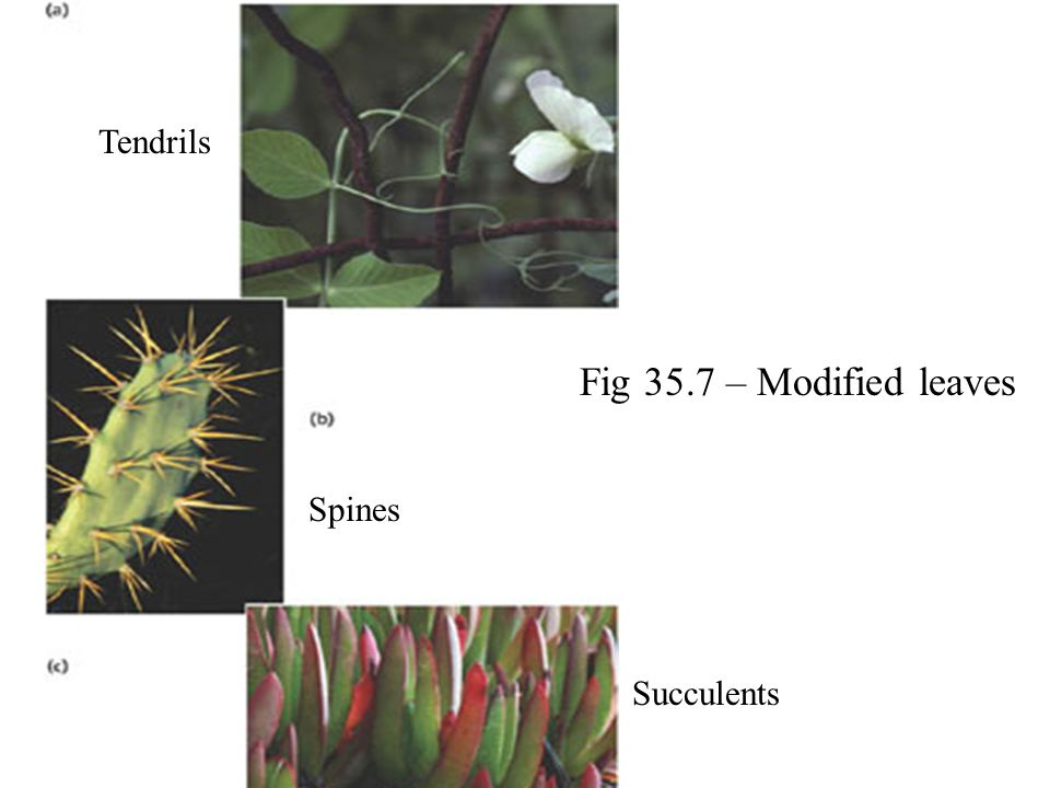 Tendrils Fig 35.7 – Modified leaves Spines Succulents