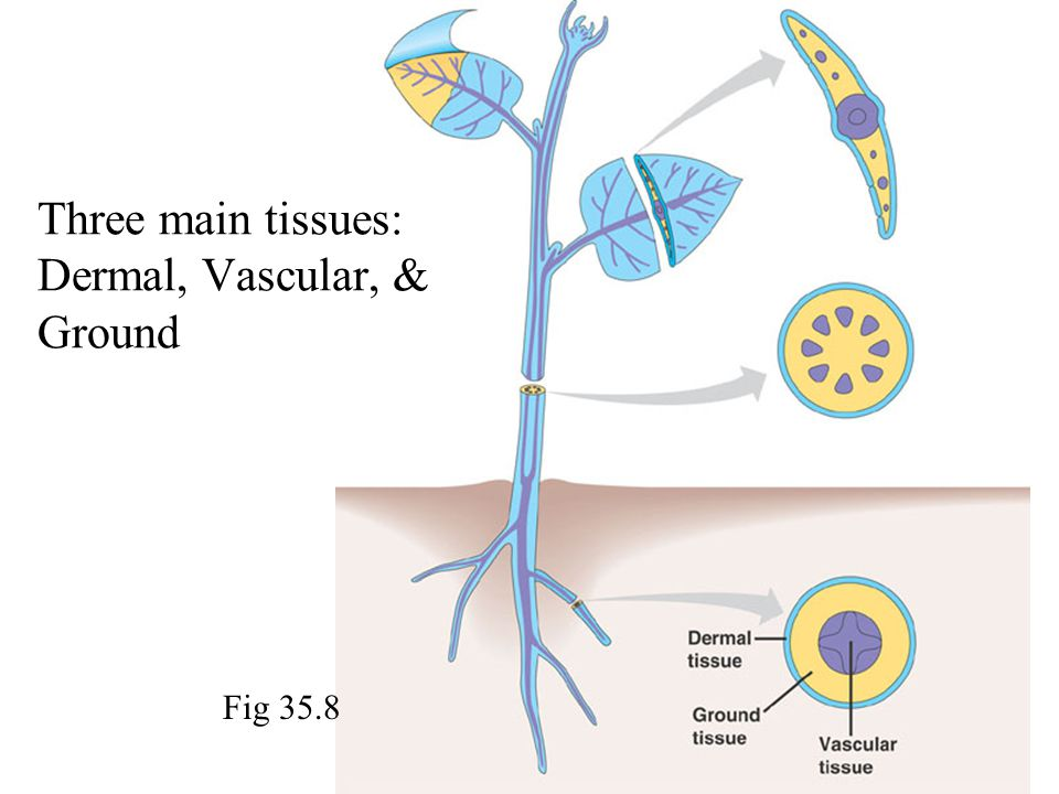 Three main tissues: Dermal, Vascular, & Ground