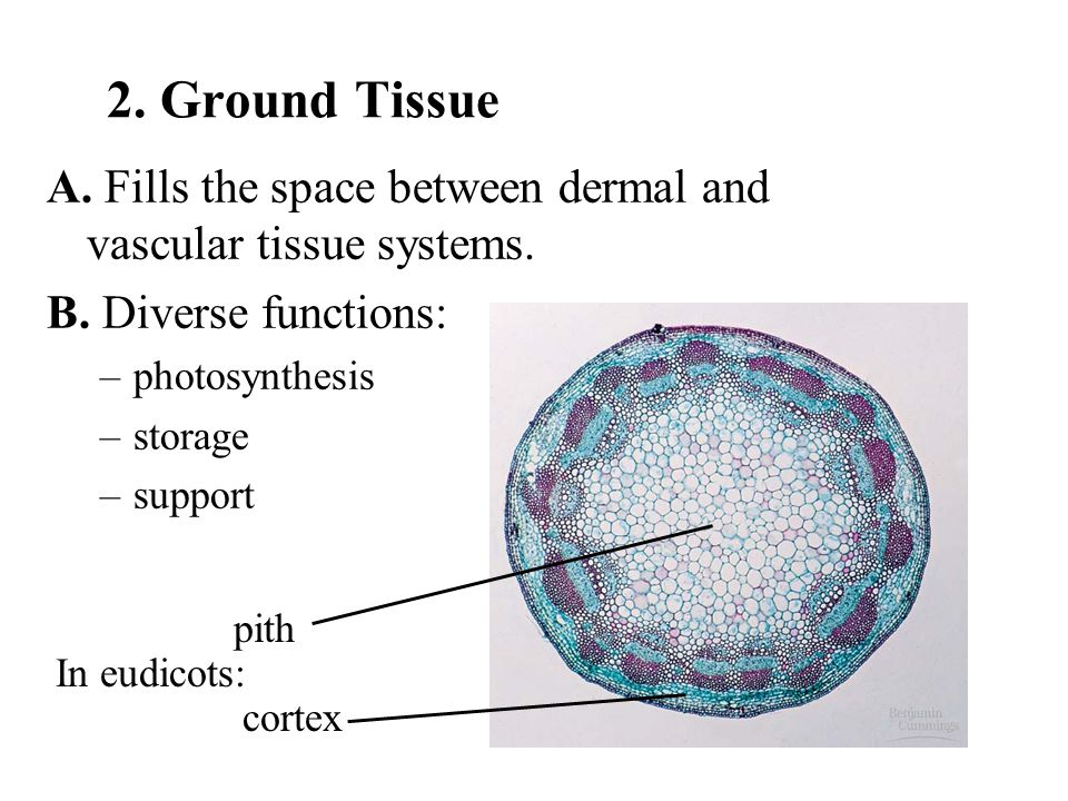 2. Ground Tissue A. Fills the space between dermal and vascular tissue systems. B. Diverse functions: