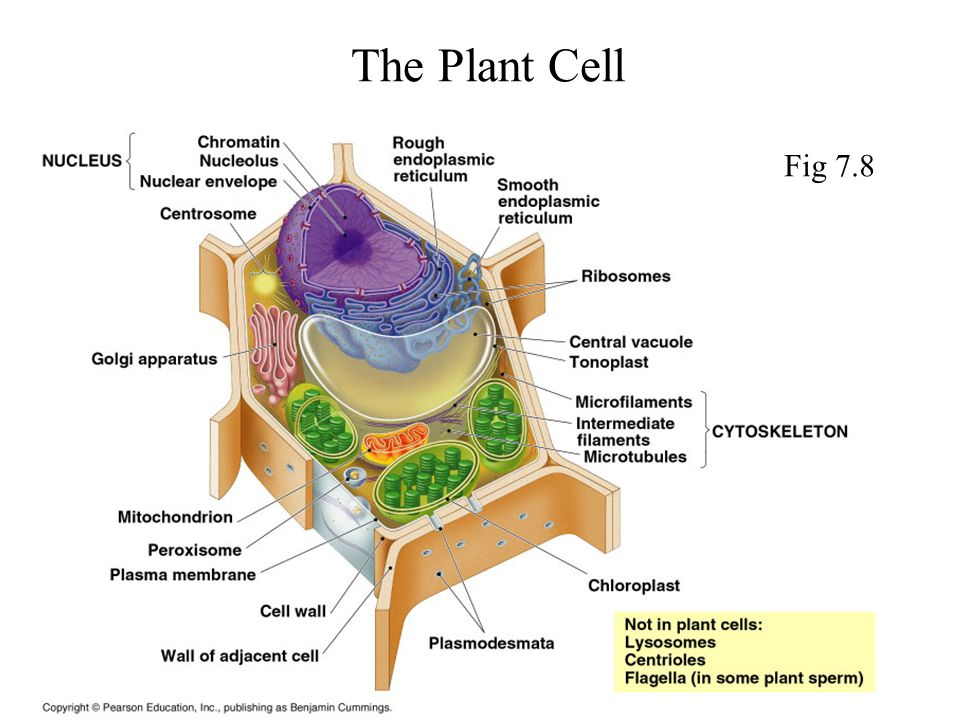 The Plant Cell Fig 7.8
