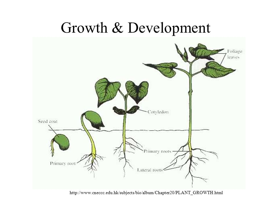 Growth & Development http://www.cneccc.edu.hk/subjects/bio/album/Chapter20/PLANT_GROWTH.html