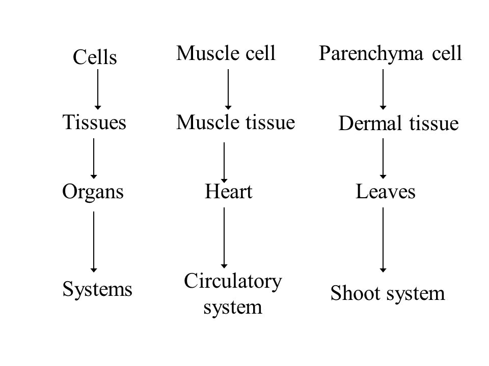 Muscle cell Parenchyma cell. Cells. Tissues. Muscle tissue. Dermal tissue. Organs. Heart. Leaves.