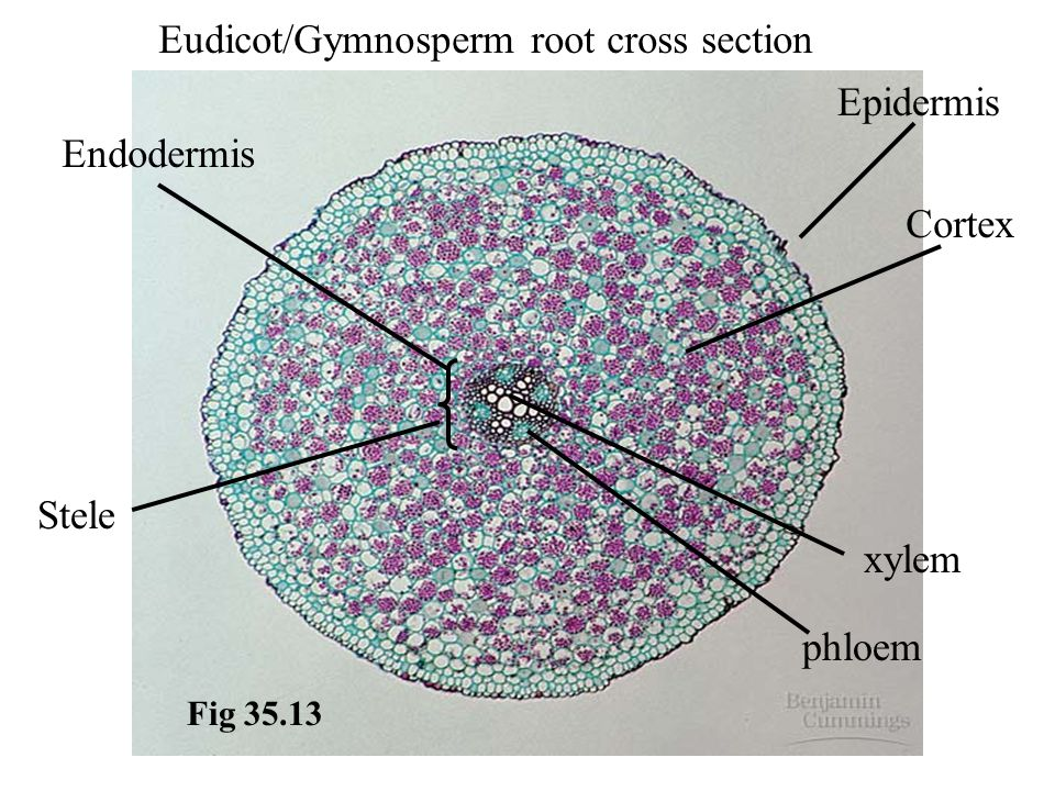 Eudicot/Gymnosperm root cross section