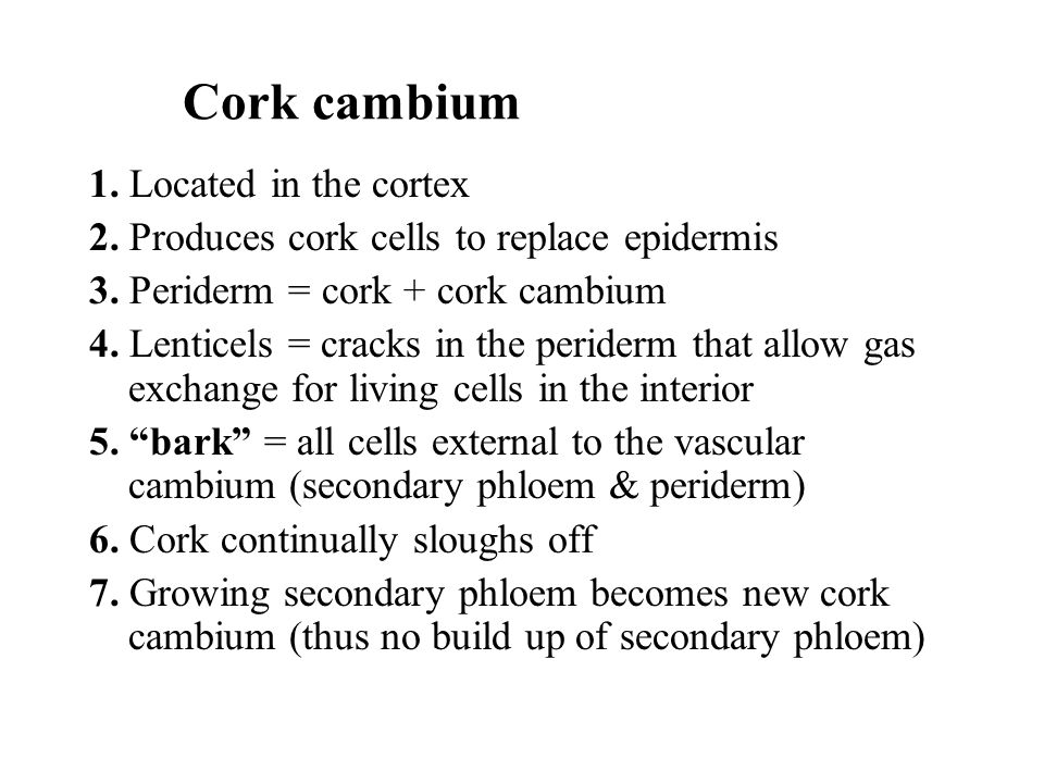 Cork cambium 1. Located in the cortex