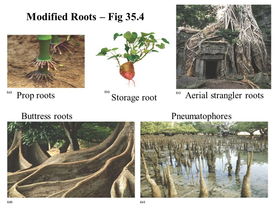 Modified Roots – Fig 35.4 Prop roots Aerial strangler roots