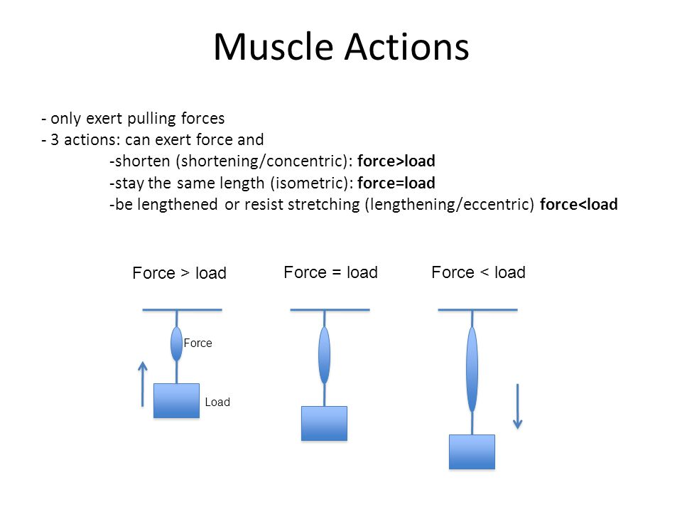Muscle Actions - only exert pulling forces