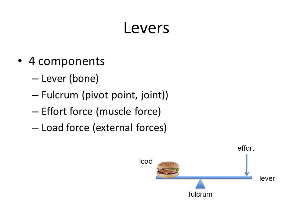 Levers 4 components Lever (bone) Fulcrum (pivot point, joint))